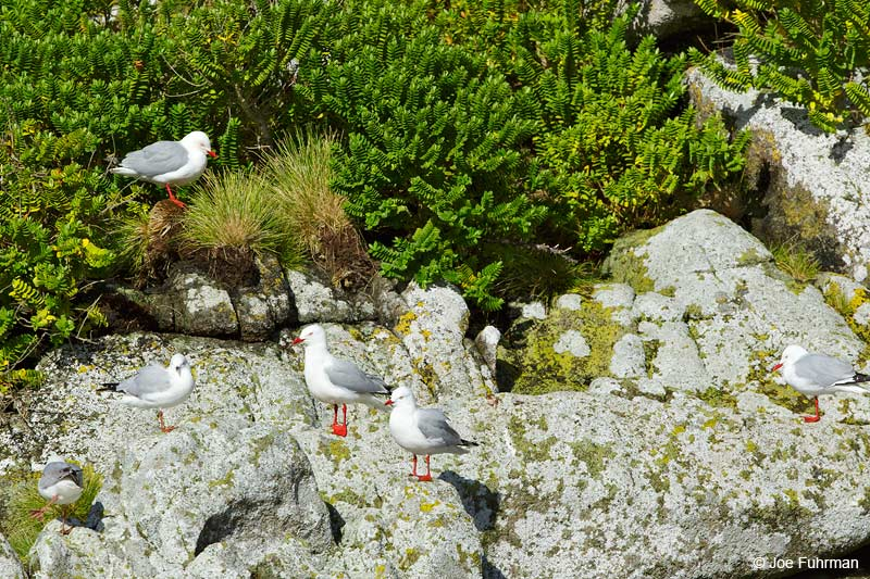 Red-billed GullThe Snares, New Zealand   Nov. 2014