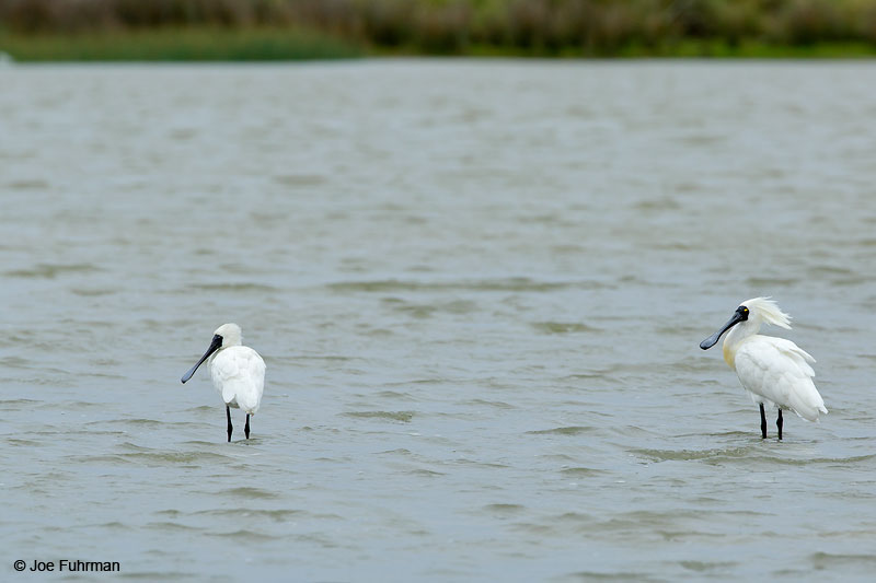 Royal SpoonbillFoxton Beach, New Zealand Dec. 2014
