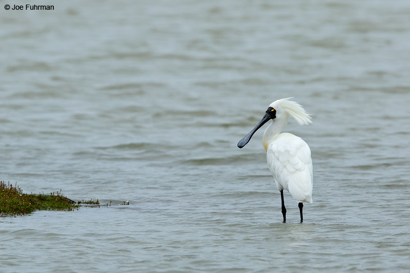Royal Spoonbill Foxton Beach, New Zealand Dec. 2014