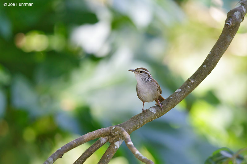 Sinaloa Wren Jalisco, Mexico   April 2015