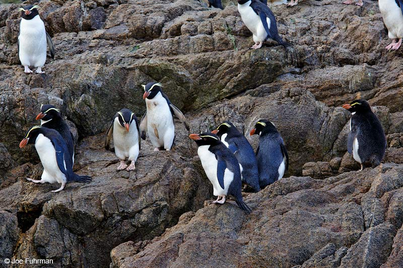 Snares Island PenguinThe Snares, New Zealand   Nov. 2014