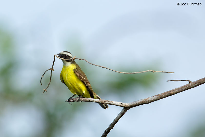 Social Flycatcher San Blas, Nayarit, Mexico April 2015