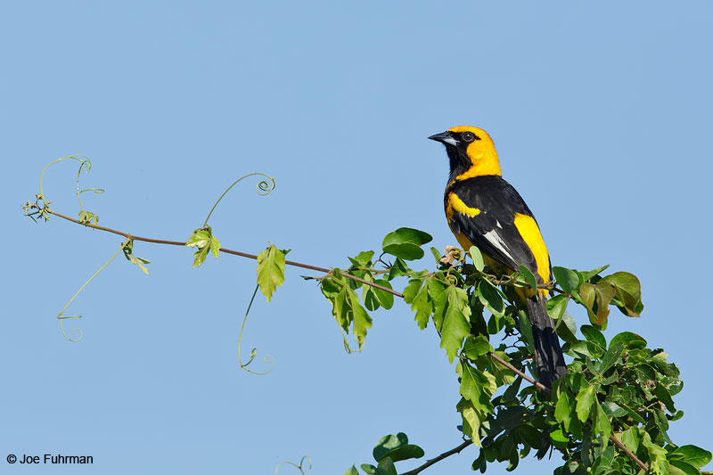 Spot-breasted Oriole Colima, Mexico   April 2015