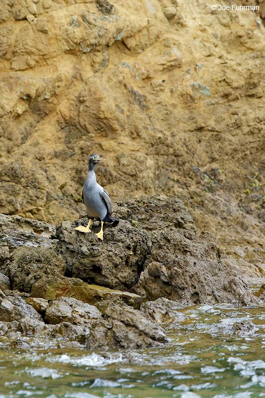 Spotted_Shag_07A1059
