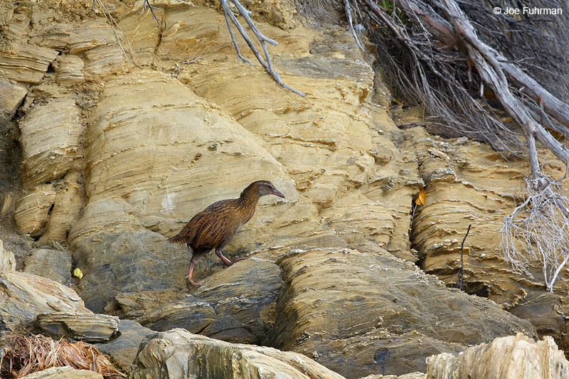 Weka Queen Charlotte Sound, New Zealand   Dec. 2014