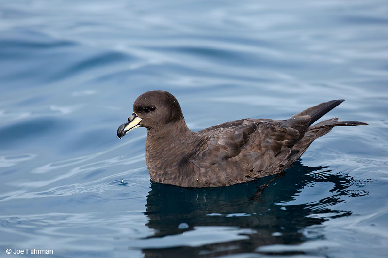 Westland PetrelKaikoura, New Zealand   Dec. 2014