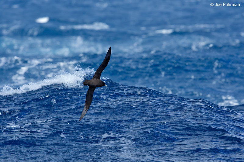 White-chinned_Petrel_07A5660