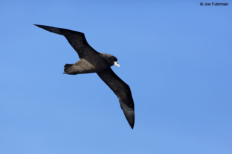 White-chinned_Petrel_07A7206