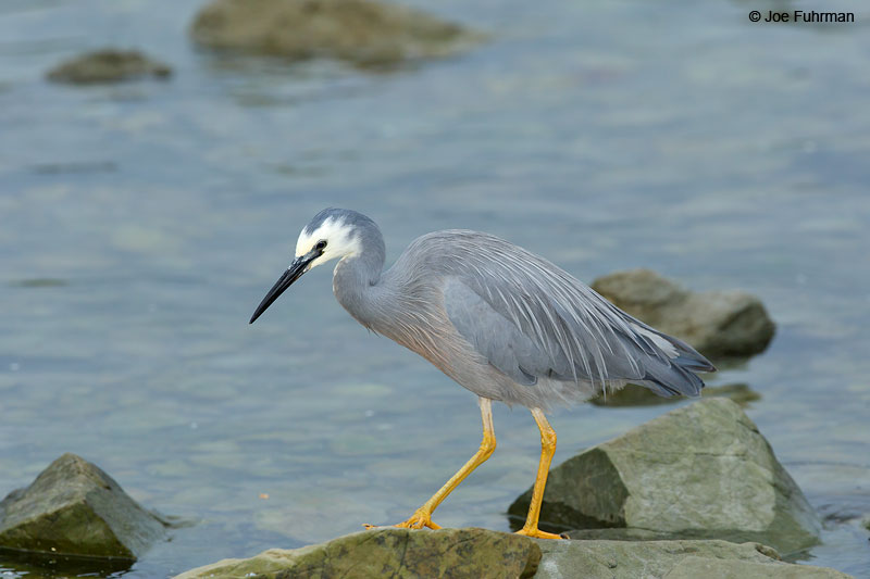 White-faced Heron Egretta novaehollandiaeKaikoura, New Zealand Dec. 2014