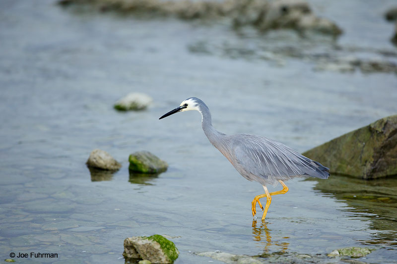White-faced Heron Egretta novaehollandiae Kaikoura, New Zealand Dec. 2014
