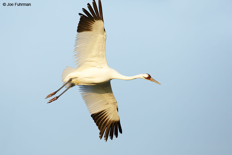Whooping Crane Aransas Co., TX   March 2015