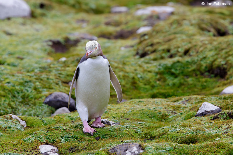 Yellow-eyed_Penguin_16A4166