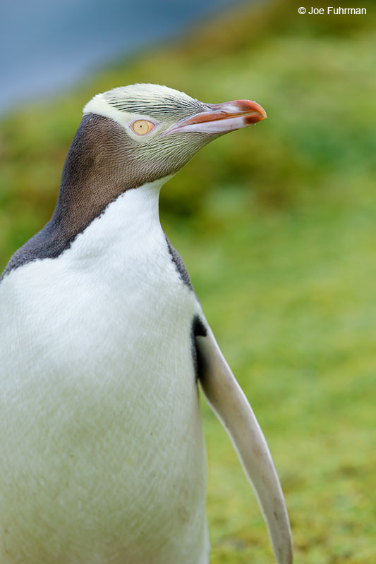 Yellow-eyed_Penguin_16A4194