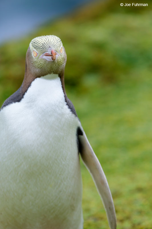 Yellow-eyed_Penguin_16A4195