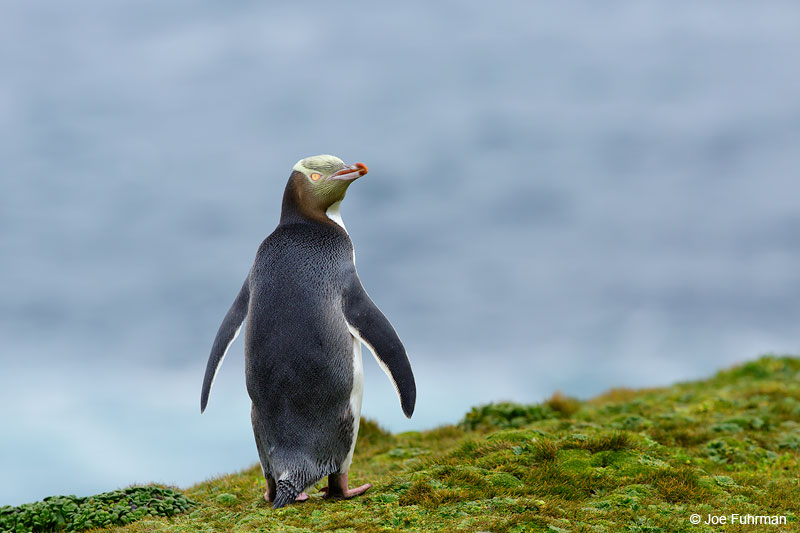 Yellow-eyed_Penguin_16A4204