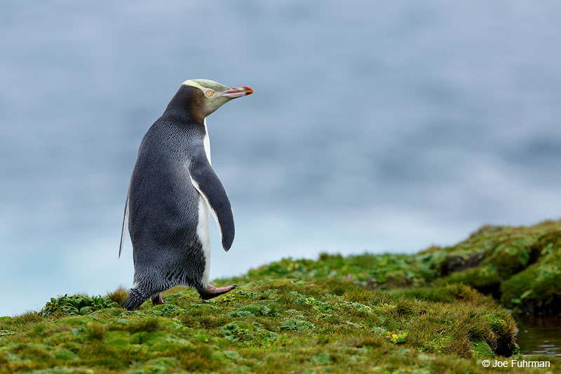 Yellow-eyed_Penguin_16A4208