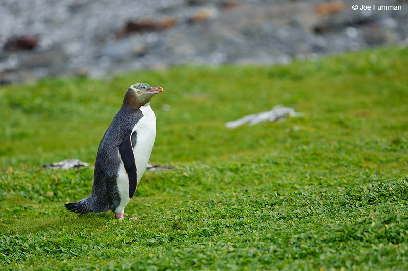 Yellow-eyed_Penguin_16A4659