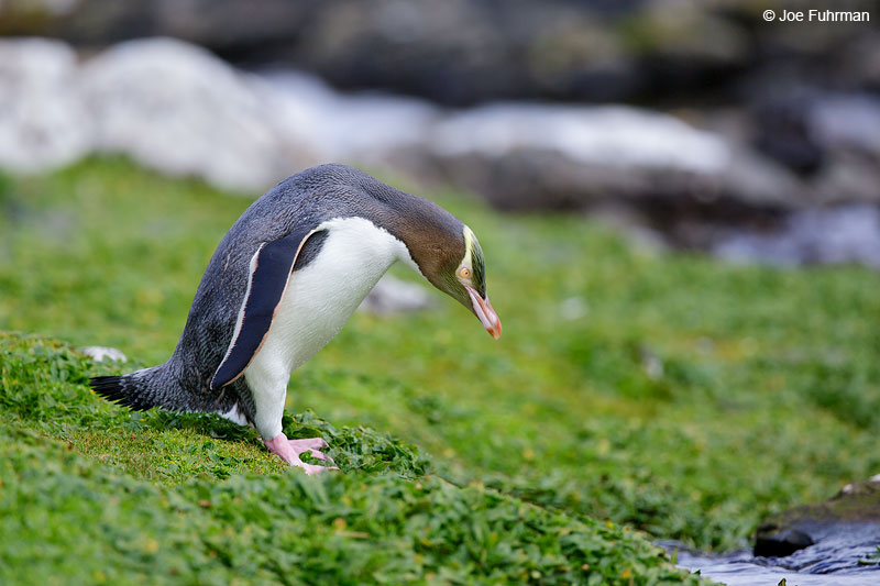 Yellow-eyed_Penguin_16A4689