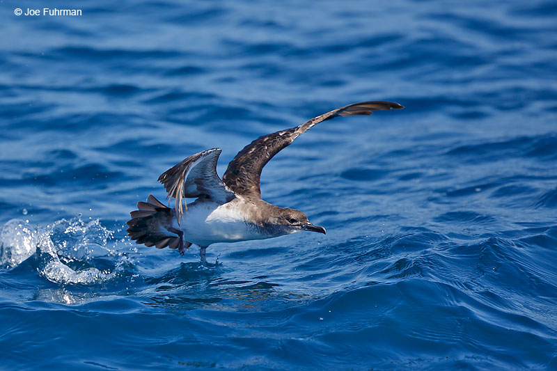 Black-vented Shearwater Orange Co., CA July 2016