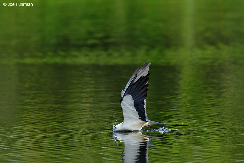 Swallow-tailed KiteLake Woodruff National Wildlife Refuge, FL   July 2015