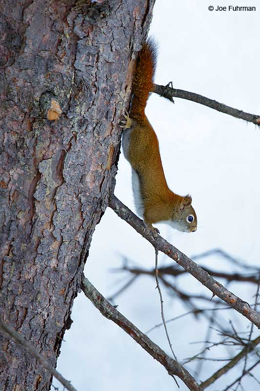 Red Squirrel Rudyard, MI Jan. 2016