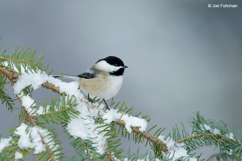 Black-capped ChickadeeMarquette, MI Jan. 2016
