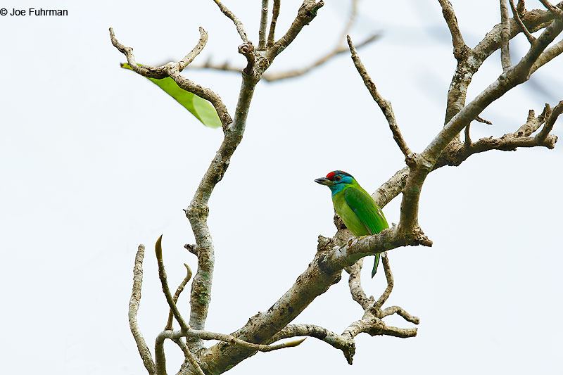 Blue-throated Barbet Mae Wong N.P., Thailand   October 2015