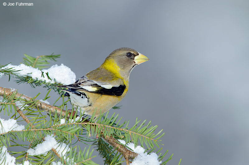 Evening GrosbeakMarquette, MI Jan. 2016