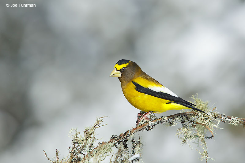 Evening GrosbeakMarquette, MI Jan. 201