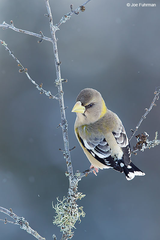 Evening Grosbeak Marquette, MI Jan. 2016
