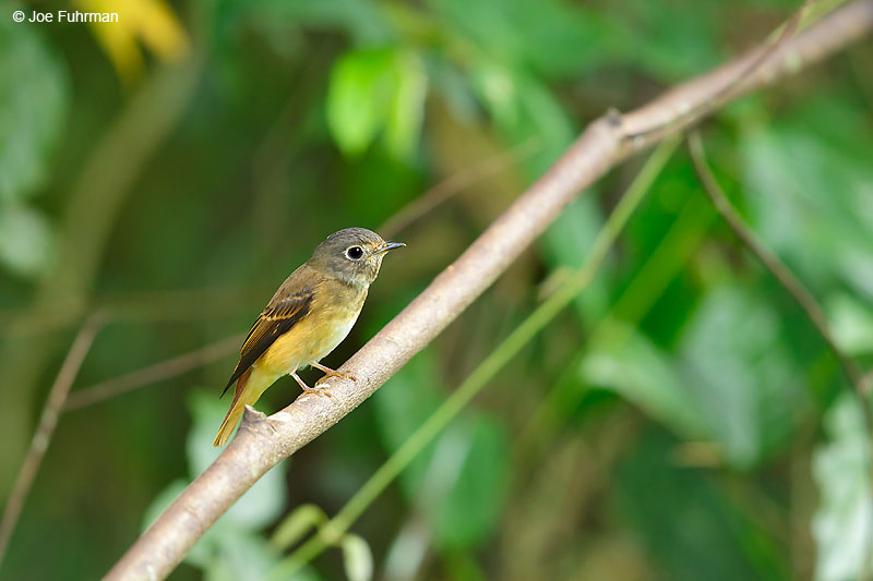 Ferruginous Flycatcher Thailand   October 2015