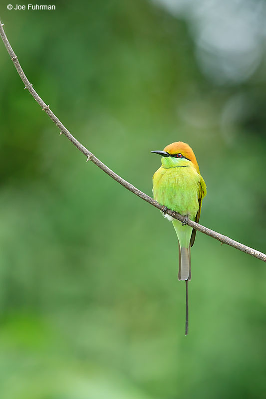 Green Bee-Eater Thailand   October 2015
