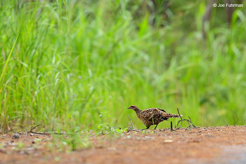 Hume's Pheasant Thailand   October 2015