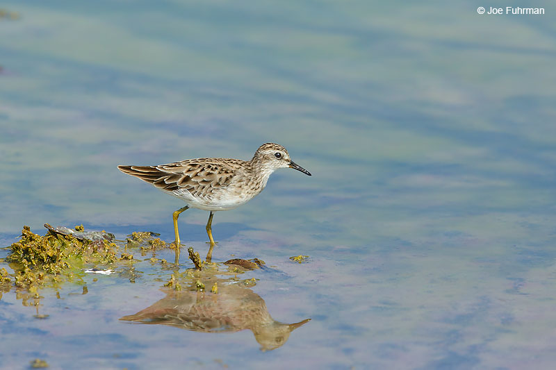 Long-toed Stint Thailand   October 2015