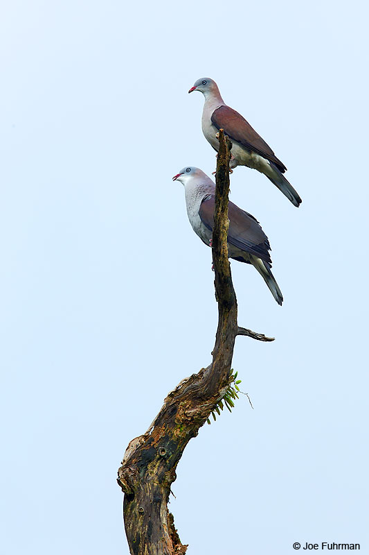 Mountain Imperial-Pigeon Mae Wong N.P., Thailand   October 2015