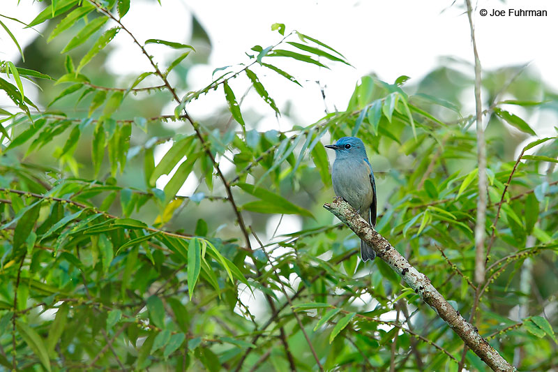 Pale Blue Flycatcher Thailand   October 2015