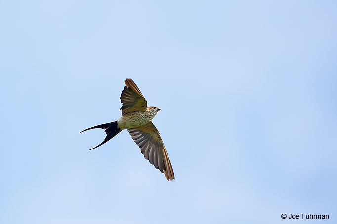 Red-rumped Swallow Thailand   October 2015
