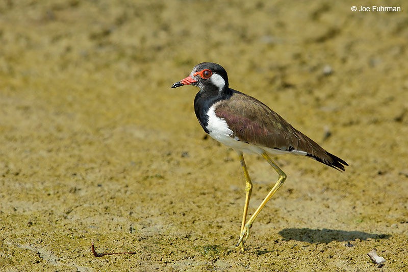 Red-wattled Lapwing Thailand   October 2015