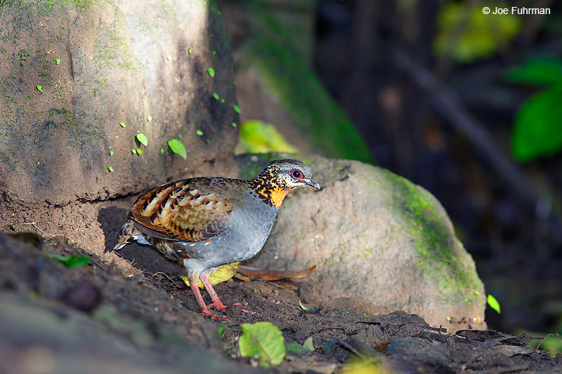 Rufous-throated Partridge Mae Wong N.P., Thailand   October 2015