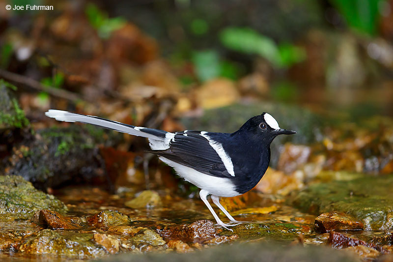White-crowned Forktail Thailand October 2015