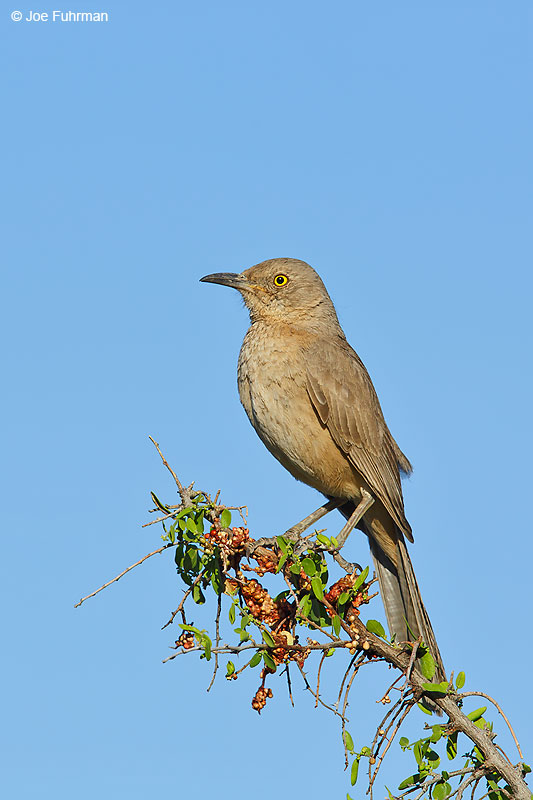 Bendire's ThrasherMaricopa Co., AZ March 2016