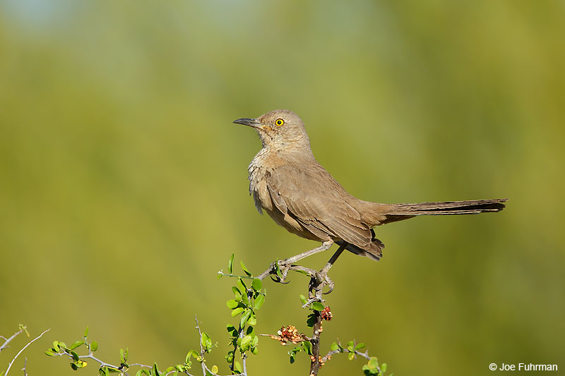 Bendire's Thrasher Maricopa Co., AZ March 2016