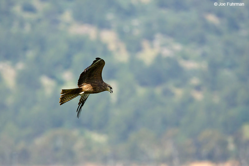 Black Kite Hula Valley, Israel April 2016