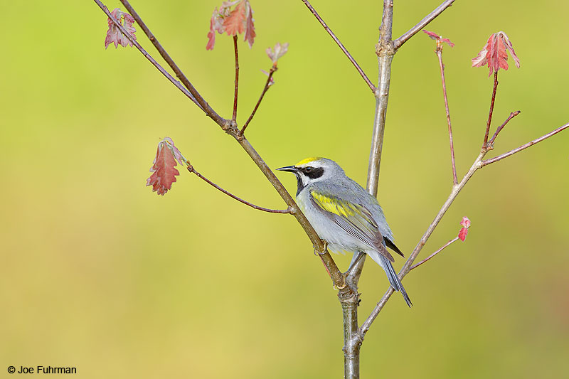 Golden-winged Warbler Lackawanna Co., PA   May 2016