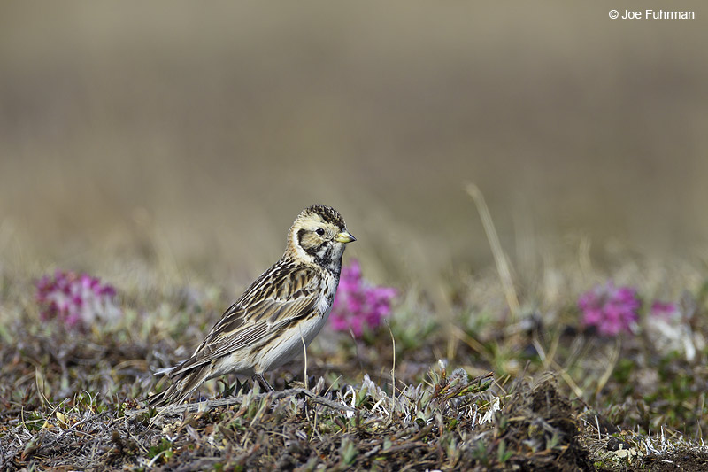 Lapland Longspur female breedingBarrow, AK June 2012