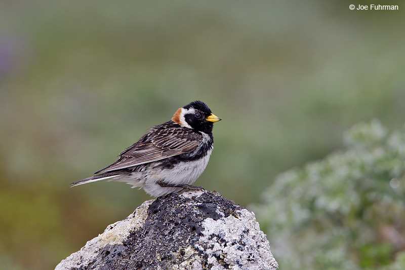 Lapland Longspur-male breedingSt. Paul Island, AK July 2010