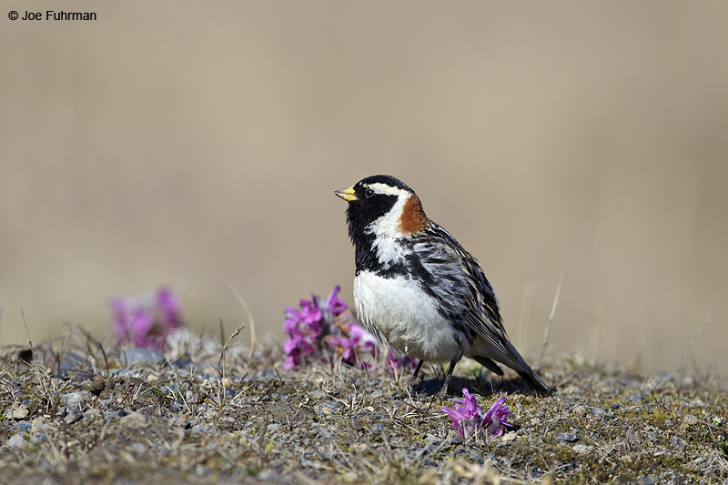 Lapland Longspur, male-breedingBarrow, AK June 2012