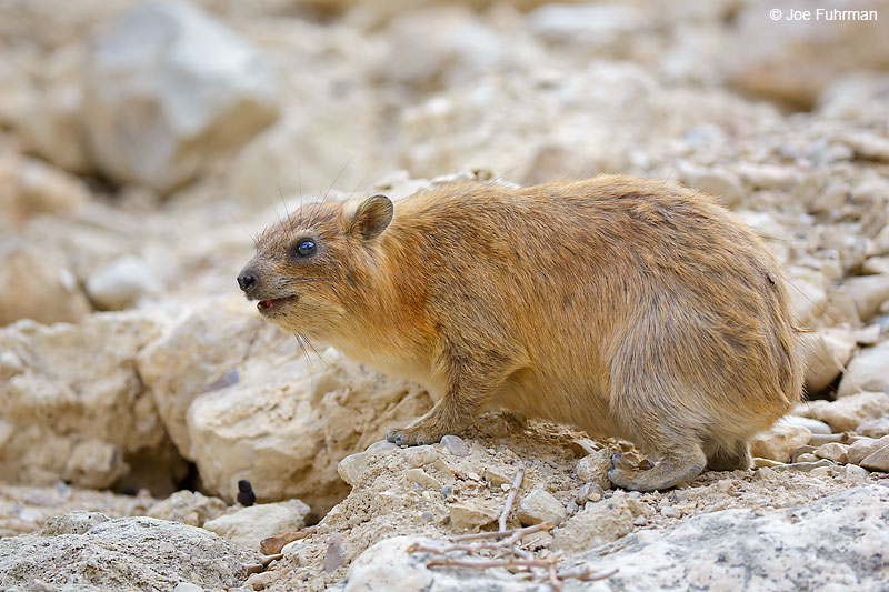 Rock Hyrax (Procavia capensis) Ein Gedi, Israel   April 2016