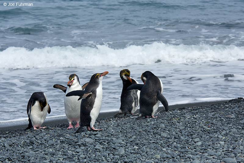 Royal PenguinMacquarie Island, Australia   Nov. 2014
