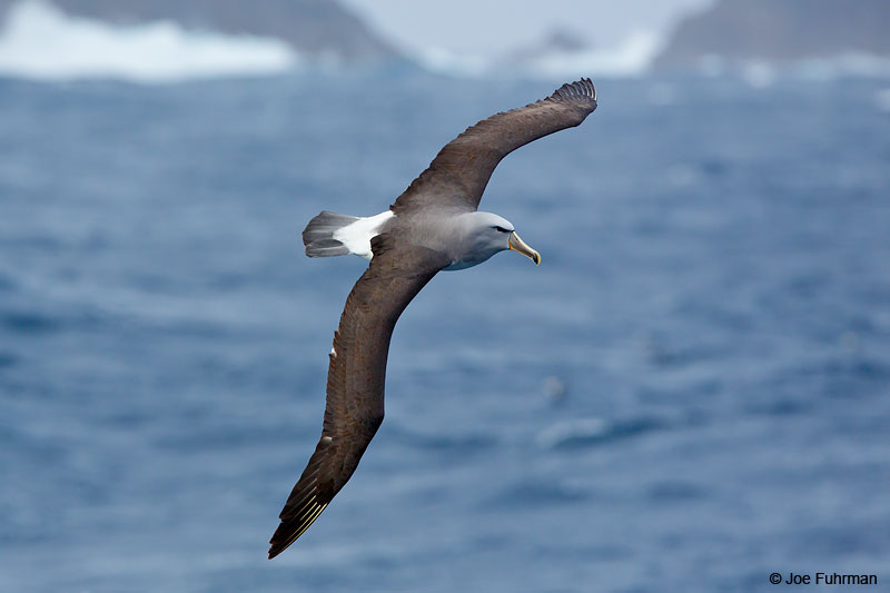 Salvin's AlbatrossBounty Island, New Zealand Nov. 2014